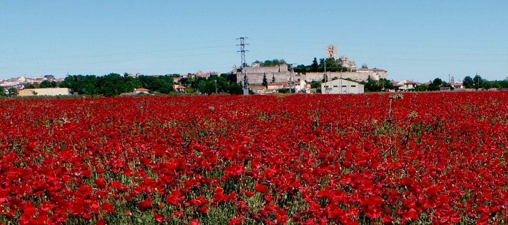 campo de amapolas en Zamora